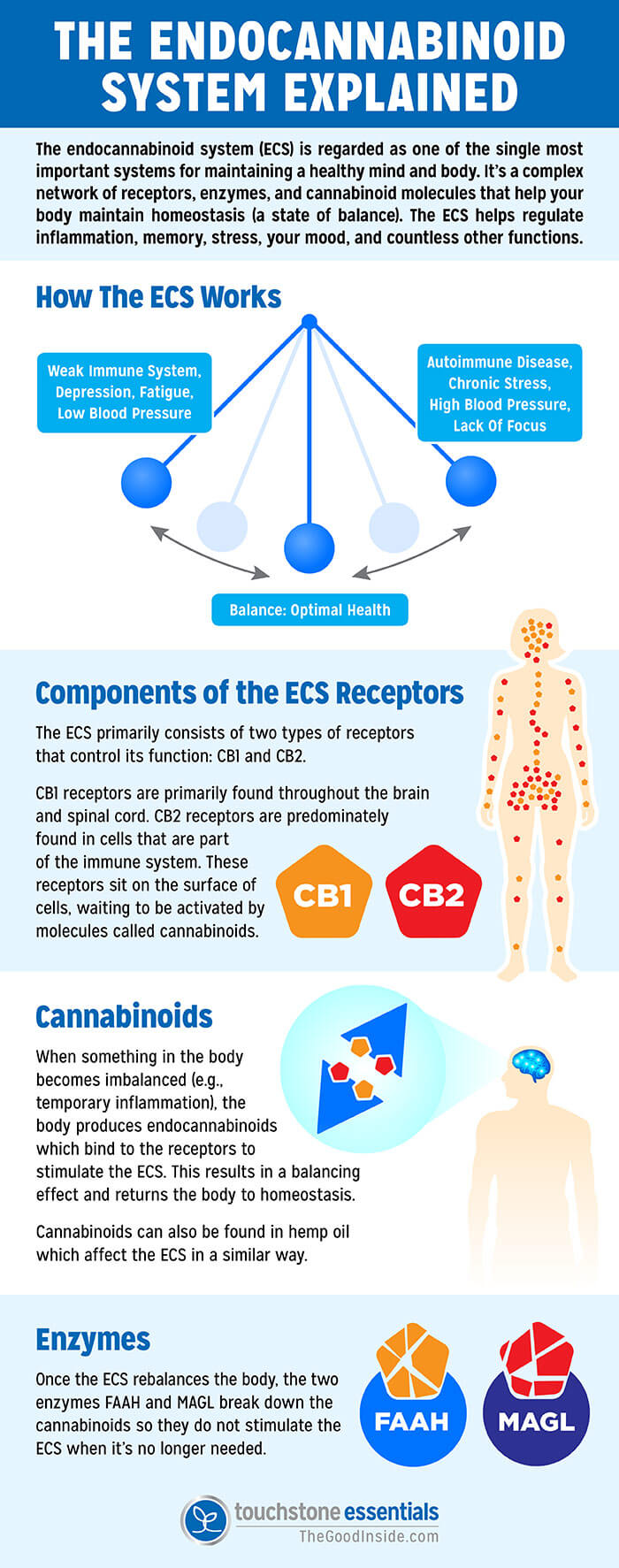 How CBD Oil Works with the Endocannabinoid System